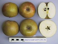 Cross section of Aromatic Russet (Scott), National Fruit Collection (acc. 1976-178).jpg