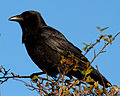 Crow 2 (8158033973).jpg