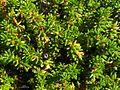 Crowberry (3850537538).jpg