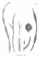 Cryptomeria japonica SZ124b.png