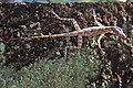 Cuban Trunk Anole (Anolis argenteolus) (8597924404).jpg