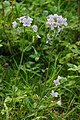 Cuckoo Flower in Haugh Wood - geograph.org.uk - 443143.jpg