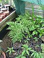 Culcita macrocarpa - Flickr - peganum.jpg