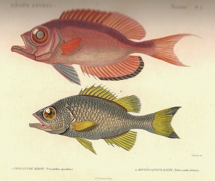 File:Cuvier-11-Priacanthus et Dules.jpg
