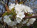 Cvjetovi trešnje lyonske.jpg