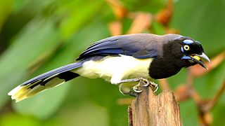 Black-chested jay species of bird