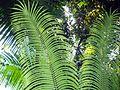 Cycas leaves.JPG