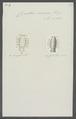 Cymothoa rosacea - - Print - Iconographia Zoologica - Special Collections University of Amsterdam - UBAINV0274 098 11 0006.tif