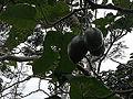 Cyphomandra betacea-yercaud-salem-India.JPG