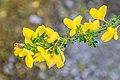 Cytisus scoparius in Tasman Region 02.jpg