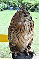 D85 1779 Siberian Eagle Owl Photographed by Trisorn Triboon.jpg
