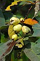 DGJ 0469 - Rose Apple (3354315543).jpg
