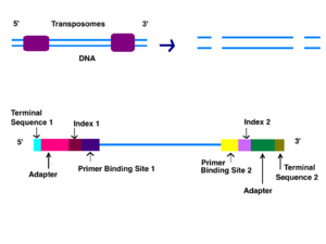 Illumina dye sequencing - Image: DNA Processing Preparation