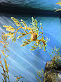 DSC28160, Leafy Sea Dragon, Monterey Bay Aquarium, Monterey, California, USA (4327040414).jpg
