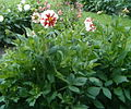 Dahlia Cultivar FireAndIce BotGardBln07122011B.jpg