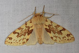 Lophocampa maculata - Spotted Tussock Moth, Lophocampa maculata, Bassetts, California