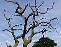Dead tree - geograph.org.uk - 973468.jpg