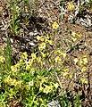 Delphinium luteum 6.jpg
