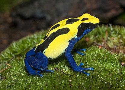 """Dendrobates tinctorius """"Patricia"""" (Dyeing dart frog), Karlsruhe Zoo"""