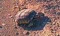 Desert Tortoise5 (6215053757).jpg