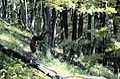 Devinska kobyla forest 01.jpg