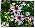 Dewy Daisies - Flickr - pinemikey.jpg