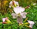 Dewy wildflower (30052889706).jpg