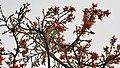 Dhak (Butea monosperma) flowers in Kolkata W IMG 4217.jpg