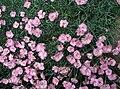 Dianthus-plumarius.JPG