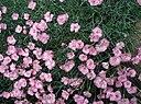 Dianthus-plumarius
