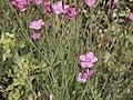 Dianthus deltoides-IMG 0592.jpg