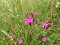 Dianthus deltoides Orikrin 002.jpg