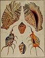 Die Flügelschnecken (Strombea) - in Abbildungen nach der Natur mit Beschreibungen (1845) (20727155968).jpg