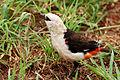 Dinemellia dinemelli -Tarangire National Park, Tanzania-8 (1).jpg