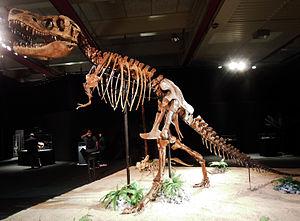Tarbosaurus - Skeleton on exhibit in Dinosaurium, Prague
