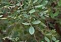 Diospyros chloroxylon leaves & flowers at Mrugavani National Park in Chilkur near Hyderabad W IMG 7419.jpg