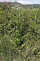 Dipsacus fullonum-Cardère sauvage-201606171.jpg