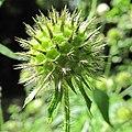 Dipsacus pilosus inflorescence (18).jpg