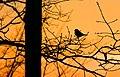 Dompfaff im Sonnenuntergang.jpg