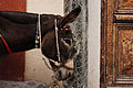 Donkey of Santorini Mule Path, Fira, Santorini island (Thira), Greece.jpg