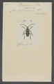 Dorcadion - Print - Iconographia Zoologica - Special Collections University of Amsterdam - UBAINV0274 034 03 0012.tif