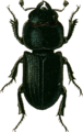 Dorcus parallelopipedus-f- Jacobson.png