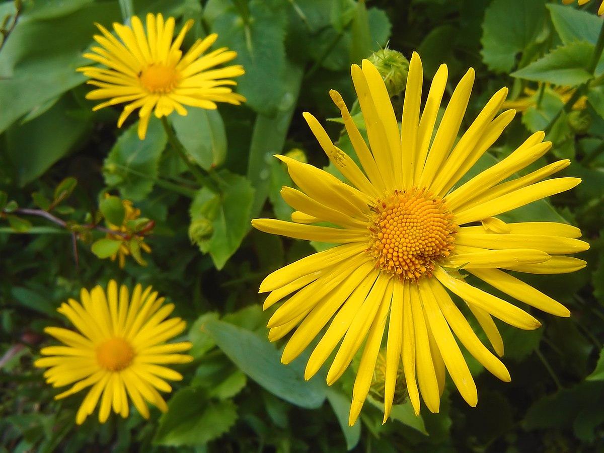 Afbeeldingsresultaat voor voorjaarszonnebloem