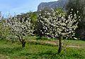 Dos cirerers florits a la vall de Gallinera.JPG