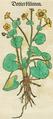 Dotterblumen.png