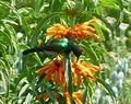 Double-collared sunbird 01 (3515637320).jpg