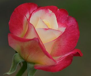 red and white hybrid tea rose, inroduced by Swim & Ellis 1977, World