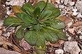 Draba mogollonensis - Flickr - aspidoscelis.jpg