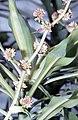 Dracaena fragrans (L.) Ker Gawl. inflorescence.jpg