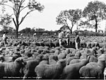 Drafting sheep, Clover Lake, Cooncoola (3594410262).jpg